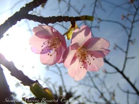 河津桜がやっと咲き始めました!