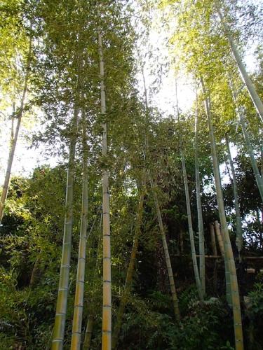 中庭に竹が生えています